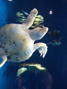 加茂水族館 ウミガメ