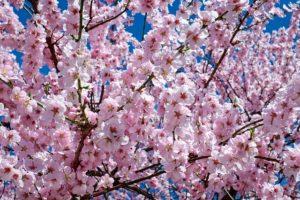 中西一登 桜旅