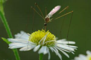 大きい蚊みたいな虫の名前はガガンボ