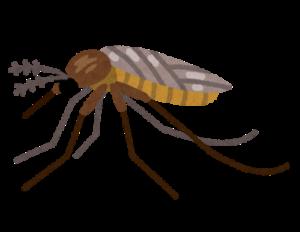 部屋に潜む蚊は「アカイエカ」
